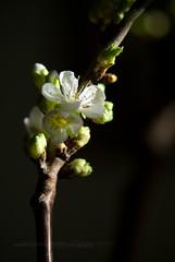 cherry blossom. (*Sabine*) Tags: white spring flora blossom cherryblossom blte frhling cerasus weis kirschblten year:uploaded=2008 sabinesteinmller
