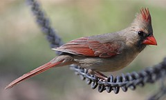 Northern Cardinal, Female (asparks306) Tags: favorite bravo