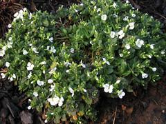 alpine snowcap in bloom