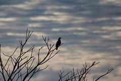 Dove on a tree (Clonidine) Tags: costarica heredia fincarosablanca