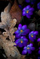 New Life (Svein Nordrum) Tags: oslo norway spring crocus botanicalgarden