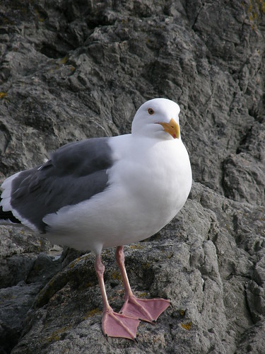 Disapproving Seagull