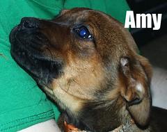 Amy (muslovedogs) Tags: dogs puppy mastweiler zeusoffspring myladyoffspring