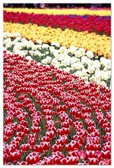 Tulip 080424 #05