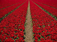 I see tulips... (Philipp Klinger Photography) Tags: red flower holland green netherlands field tulip philipp klinger themoulinrouge dcdead