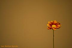 Pequena alegria - EXPLORE (Luiz Henrique Assuno) Tags: flower canon eos 50mm flor explore littleflower pequenaflor 40d licassuncao