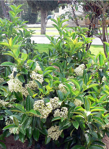 Viburnum lucidus