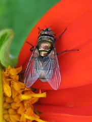 We don't just sit on poo... (poppy2323) Tags: orange nature insect fly explore mexican sunflower animalia arthropoda blowfly diptera calliphoridae insecta lucilia tithonia greenbottlefly bluebottlefly oestroidea