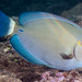Ringtail Surgeonfish - Acanthurus blochii
