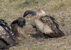 Vultures eating a rotting carcass - Kenya (Eric Lafforgue) Tags: africa kenya culture tribal tribes afrika tradition tribe ethnic tribo afrique ethnology tribu eastafrica 563 quénia lafforgue ethnie ケニア quênia كينيا 케냐 кения keňa 肯尼亚 κένυα кенија кенијa