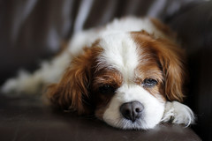 Jenny (Martin on Flickr) Tags: cute leathersofa cavalierkingcharles sigma30mmf14dcexhsm canoneos60d doglyingdown