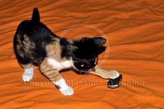 001428 D 300 (Massimo Marchina) Tags: italy animals cat italia gato katze gatto vicenza veneto mimì tokinaatxproaf287012628
