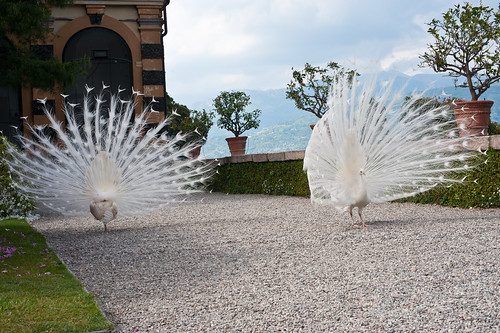 White Peacocks-Isla Bella, Itally