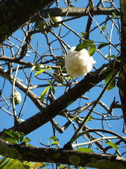 st aubin - 10 - cotton tree
