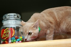 Jelly Belly Buff (Elkay 724) Tags: pet cats pets beautiful cat naughty catwomen ginger feline tabby kitty kitties buff curious creamsicle mischief jellybelly cutiepies buffcoloredcats