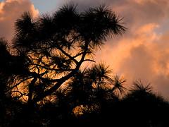 the burning bush, er, tree