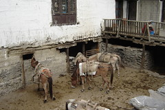 Mules resting at the guesthouse in Kagbeni, Mustang (Kāgbeni, , Nepal) Photo
