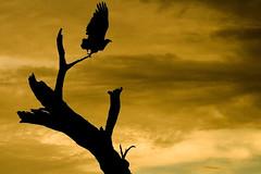 African Fish Eagle (Wild Dogger) Tags: wildlife botswana chobe breathtaking africanfisheagle anawesomeshot schreiseeadler naturewatcher