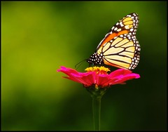 september monarch (Gaby Swanson, Photographer) Tags: flower nature closeup butterfly outdoors searchthebest explore monarch naturesfinest flickrsbest animalkingdomelite mywinners gabrieleswanson ahqmacro animalpicturesaf