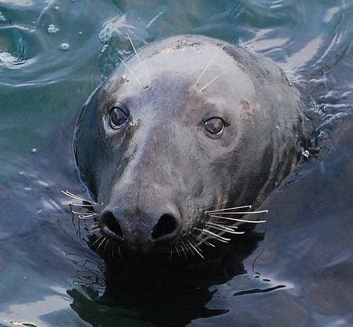 Senore Seal