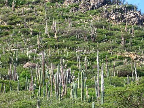 Aruban Cacti