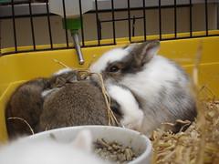Ramblas bunnies - Eek! (dnunez_za) Tags: baby cute bunny animal furry fuzzy conejo coelho