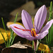 Saffron ... Crocus sativus