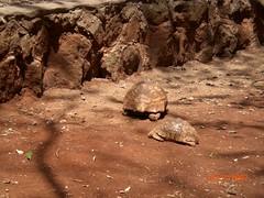 Leopard tortoises