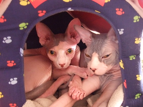 hairless cat 2142543983 d6b3b9d742 Hairless tootsies