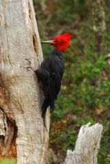 Magellanic Woodpecker (Adventurous Dragon) Tags: patagonia bird woodpecker campephilusmagellanicus