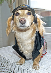 W-a-a-a-y too much cleavage (Doxieone) Tags: dog cute english hat costume long cream photographers dachshund harley honey blonde haired davidson 31 coolest dressed coll longhaired honeydog englishcream honeyset halloweenfall2008set