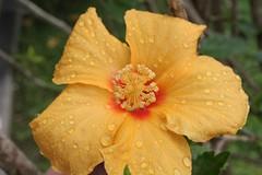 FLOR (Bruno Tetto) Tags: flores flower color nature natureza flor chuva commons cor wonderfulworldofflowers