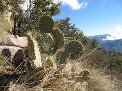 Cactus, Copper Canyon, Mexico (ali eminov) Tags: plants cactus coppercanyon mexico cacti mountains landscapes barrancasdelcobre