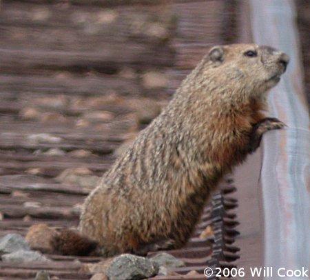 groundhog0667.jpg