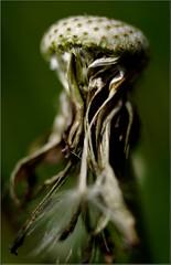 The Bold (Kirsten M Lentoft) Tags: flower bravo dandelion bec themoulinrouge mywinners abigfave momse2600 ysplix betterthangood theperfectphotographer thegardenofzen mmuahh gdnythlk kirstenmlentoft