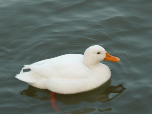 White Duck, River Medway,Chatham ,Kent