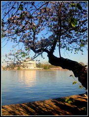 Cherry blossoms, Tidal Basin (Kurlylox1) Tags: flowers tree reflections washingtondc spring oldtree sakura cherryblossoms monuments jeffersonmemorial cherrytree gnarled yoshino tidalbasin springblossoms mywinners excellentphotographerawards ilovemypic theunforgettablepictures goldstaraward