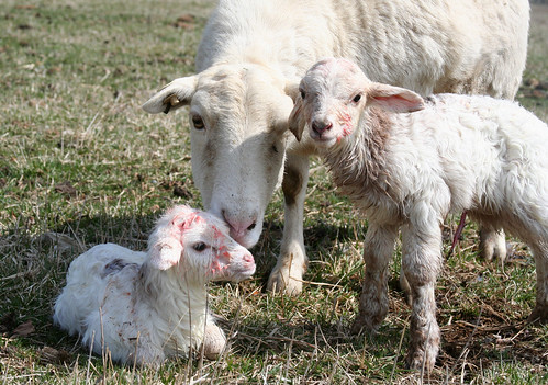 Twin ram lambs born outside