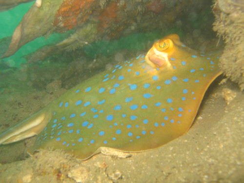 Blue spotted fan tail ray