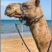 Camel on Suttons Beach-01+