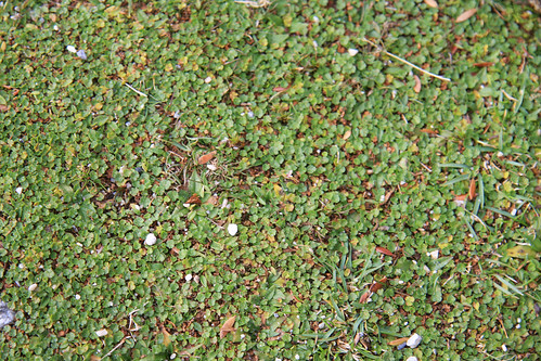 Alpine Ground Cover