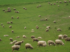Ezen a képen elszórtan birkák legelésznek / some sheep show here, but there are not many people (.e.e.e.) Tags: green nature animals landscape hungary village sheep olympus baranya e400 abigfave