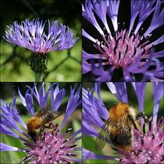 bleuets / cornflowers