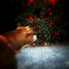 searching dog  (revisited) (Phil Ladbrook) Tags: flowers red españa dog lomo spain looking perro cordoba effect searching efecto