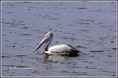 6674 - grey pelican (chandrasekaran a 38 lakhs views Thanks to all) Tags: spotbilledpelican greypelican pelican birds sholinganallur chennai nature india marsh canon powershotsx60hs