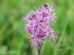 DSCF4116 (jolang3) Tags: blüte wiesenblume blume pflanze blütenstand