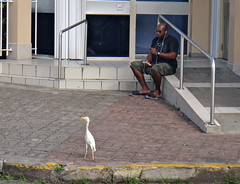 Man and Egret (quiggyt4) Tags: saintkitts saintkittsandnevis stkitts nevis basseterre caribbean westindies egret heron bird birding birdlife france england britain berkeley memorial portzante port church religion god dawn sunrise volcano volcanic island city streets piccadilly square townsquare museum nationalmuseum bus busshelter occupy ows occupywallstreet ronpaul trump donaldtrump
