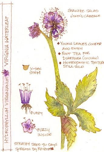 Hydrophyllum virginianum?