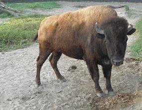 PLAINS AMERICAN BISON ... (Bison bison bison) ......... BISONTE AMERICANO DE PLANICIE ~ original=(3332 x 2588)