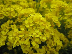 Alyssum (Lissyanne (fighting pain daily)) Tags: flower nature yellow garden petals flora blossom alyssum 2011 basketofgold